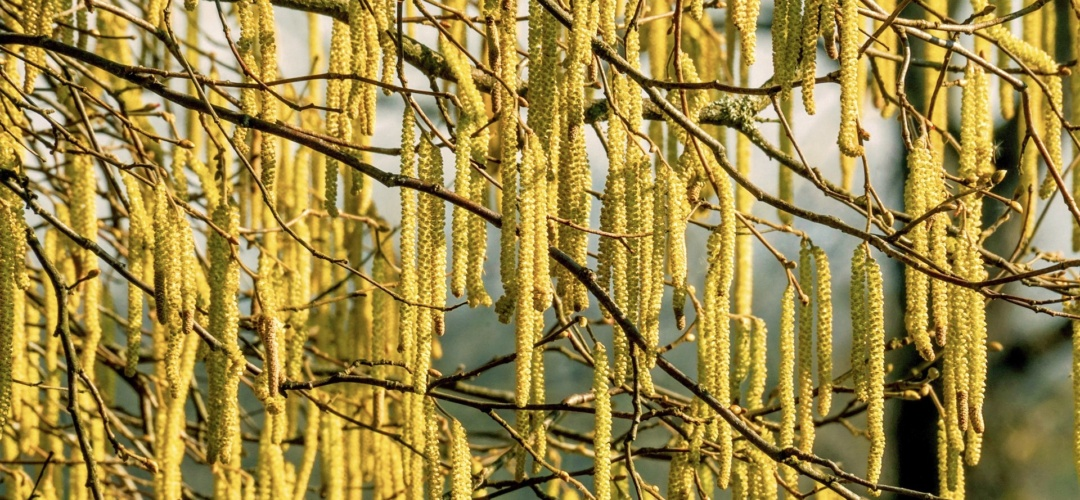 Hazel - laden with pale yellow male catkins