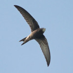 Save Our Swifts project