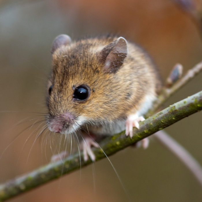 Small mammal trapping