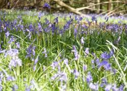 NatureHunt - bluebells