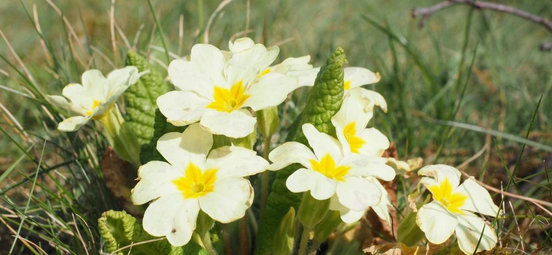Wild primroses - celebrate Primrose Day on 19 April!
